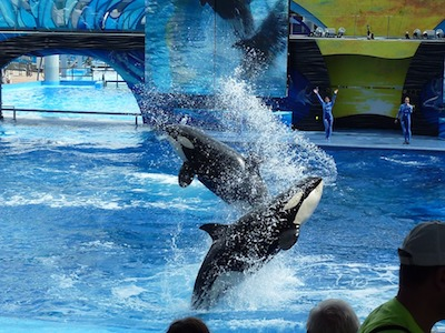 Orcas Perform at SeaWorld